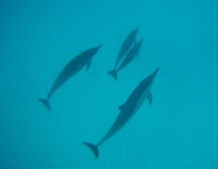 the clear waters of the big island allowed us a clear connection with spinner dolphins