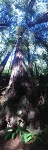 Conscious collective Redwood trees